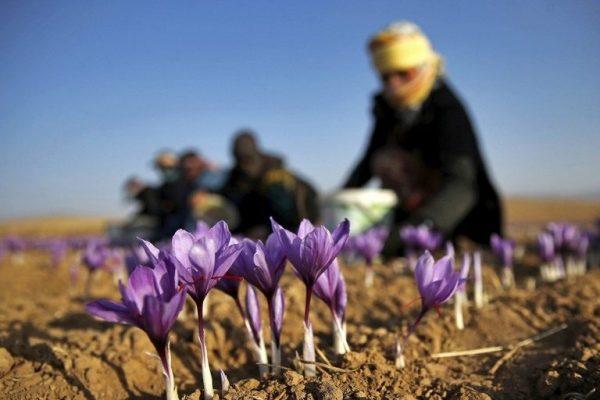 Củ hoa Nghệ Tây là gì? Có thể trồng ở Việt Nam không?