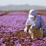 Saffron Của Nước Nào Tốt Nhất? [Hỏi Đáp]