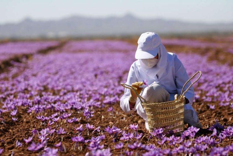 Saffronviet chuyên cung cấp saffron chính hãng nhập khẩu Iran