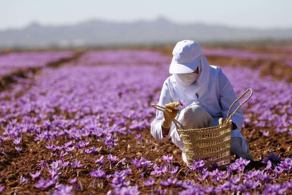 Saffron của nước nào tốt nhất?