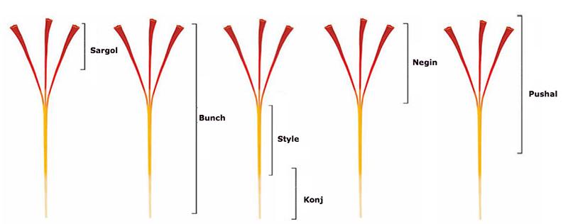 Phân loại theo chiều dài sợi nhụy chúng ta sẽ có những loại Saffron