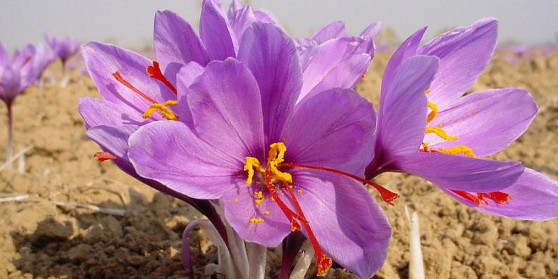[Kinh Nghiệm] Bí Quyết Phân Biệt Saffron Thật Giả Chuẩn Nhất