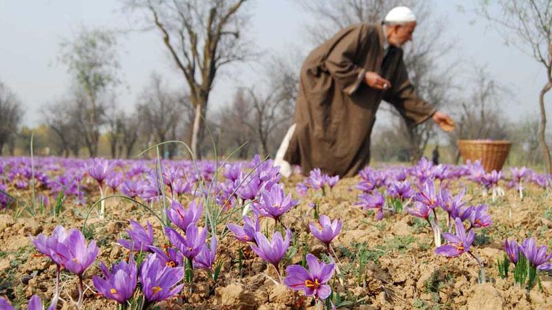 Nhụy hoa nghệ tây Iran hay Ấn Độ tốt hơn