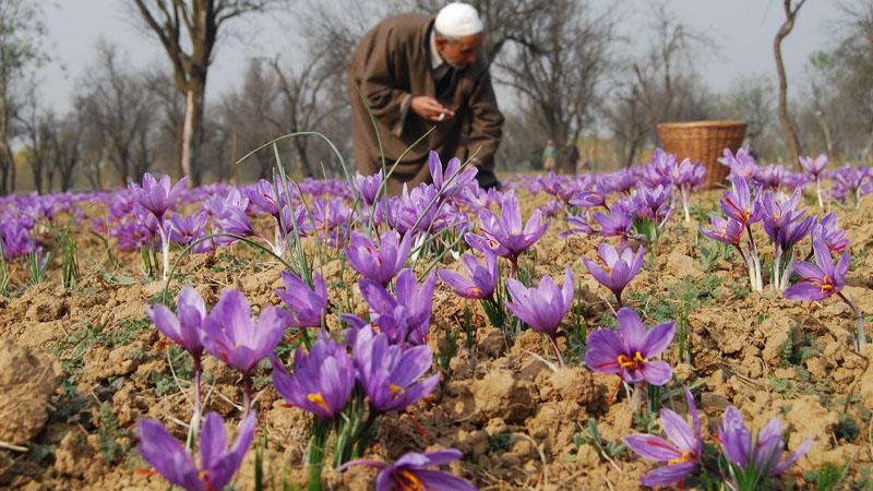 Nhụy hoa nghệ tây saffron xuất xứ từ đâu?