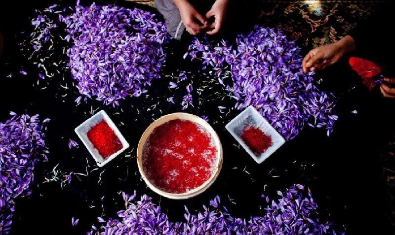 Thu hoạch saffron - nhụy hoa nghệ tây hoàn toàn bằng thủ công